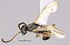 http://mczbase.mcz.harvard.edu/specimen_images/entomology/large/MCZ-ENT00030275_Pseudisobrachium_michoucanum_had.jpg