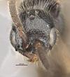 http://mczbase.mcz.harvard.edu/specimen_images/entomology/large/MCZ-ENT00030275_Pseudisobrachium_michoucanum_hef.jpg