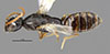 http://mczbase.mcz.harvard.edu/specimen_images/entomology/large/MCZ-ENT00030278_Pseudisobrachium_obscurum_had.jpg