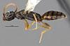 http://mczbase.mcz.harvard.edu/specimen_images/entomology/large/MCZ-ENT00030278_Pseudisobrachium_obscurum_hal.jpg