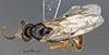 http://mczbase.mcz.harvard.edu/specimen_images/entomology/large/MCZ-ENT00030279_Pseudisobrachium_aztecum_had.jpg