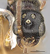 http://mczbase.mcz.harvard.edu/specimen_images/entomology/large/MCZ-ENT00030279_Pseudisobrachium_aztecum_hef.jpg