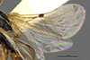 http://mczbase.mcz.harvard.edu/specimen_images/entomology/large/MCZ-ENT00030280_Pseudisobrachium_arenarium_win.jpg