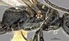 http://mczbase.mcz.harvard.edu/specimen_images/entomology/large/MCZ-ENT00030285_Pristocera_tenochca_thl.jpg