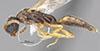 http://mczbase.mcz.harvard.edu/specimen_images/entomology/large/MCZ-ENT00030287_Pseudisobrachium_comanche_hal.jpg