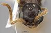 http://mczbase.mcz.harvard.edu/specimen_images/entomology/large/MCZ-ENT00030287_Pseudisobrachium_comanche_hef.jpg