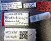 http://mczbase.mcz.harvard.edu/specimen_images/entomology/large/MCZ-ENT00030287_Pseudisobrachium_comanche_lbs.jpg