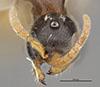 http://mczbase.mcz.harvard.edu/specimen_images/entomology/large/MCZ-ENT00030289_Pseudisobrachium_foutsi_hef.jpg