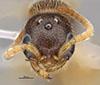 http://mczbase.mcz.harvard.edu/specimen_images/entomology/large/MCZ-ENT00030291_Pseudisobrachium_rectangulatum_hef.jpg