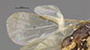 http://mczbase.mcz.harvard.edu/specimen_images/entomology/large/MCZ-ENT00030292_Pseudisobrachium_macrops_fwg.jpg