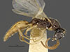 http://mczbase.mcz.harvard.edu/specimen_images/entomology/large/MCZ-ENT00030292_Pseudisobrachium_macrops_hal.jpg