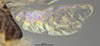 http://mczbase.mcz.harvard.edu/specimen_images/entomology/large/MCZ-ENT00030340_Dissomphalus_collaris_hwg.jpg