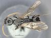 http://mczbase.mcz.harvard.edu/specimen_images/entomology/large/MCZ-ENT00030341_Apenesia_ornata_had.jpg
