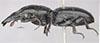 http://mczbase.mcz.harvard.edu/specimen_images/entomology/large/MCZ-ENT00030402_Scarites_aberdaronsis_neavei_hal.jpg