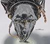 http://mczbase.mcz.harvard.edu/specimen_images/entomology/large/MCZ-ENT00030402_Scarites_aberdaronsis_neavei_hef.jpg