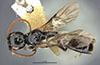 http://mczbase.mcz.harvard.edu/specimen_images/entomology/large/MCZ-ENT00030434_Apenesia_flammicornis_had.jpg