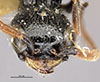 http://mczbase.mcz.harvard.edu/specimen_images/entomology/large/MCZ-ENT00030434_Apenesia_flammicornis_hef.jpg