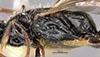 http://mczbase.mcz.harvard.edu/specimen_images/entomology/large/MCZ-ENT00030434_Apenesia_flammicornis_thl.jpg