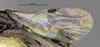 http://mczbase.mcz.harvard.edu/specimen_images/entomology/large/MCZ-ENT00030438_Apenesia_cochise_fwg.jpg