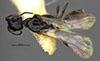 http://mczbase.mcz.harvard.edu/specimen_images/entomology/large/MCZ-ENT00030438_Apenesia_cochise_had.jpg