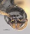 http://mczbase.mcz.harvard.edu/specimen_images/entomology/large/MCZ-ENT00030439_Apenesia_chiricahua_hef.jpg