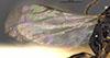 http://mczbase.mcz.harvard.edu/specimen_images/entomology/large/MCZ-ENT00030439_Apenesia_chiricahua_win.jpg