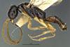 http://mczbase.mcz.harvard.edu/specimen_images/entomology/large/MCZ-ENT00030441_Apenesia_cubensis_hal.jpg