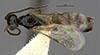 http://mczbase.mcz.harvard.edu/specimen_images/entomology/large/MCZ-ENT00030442_Apenesia_tarascana_had.jpg