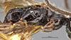 http://mczbase.mcz.harvard.edu/specimen_images/entomology/large/MCZ-ENT00030442_Apenesia_tarascana_thl.jpg