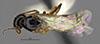 http://mczbase.mcz.harvard.edu/specimen_images/entomology/large/MCZ-ENT00030443_Apenesia_tlahuicana_had.jpg