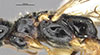 http://mczbase.mcz.harvard.edu/specimen_images/entomology/large/MCZ-ENT00030444_Apenesia_venezuelana_thl.jpg