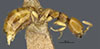 http://mczbase.mcz.harvard.edu/specimen_images/entomology/large/MCZ-ENT00030445_Apenesia_dominica_hal.jpg