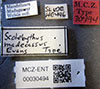 http://mczbase.mcz.harvard.edu/specimen_images/entomology/large/MCZ-ENT00030494_Scolebythus_madecassus_lbs.jpg
