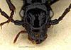 http://mczbase.mcz.harvard.edu/specimen_images/entomology/large/MCZ-ENT00030692_Penetretus_sterbae_hef.jpg