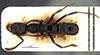 http://mczbase.mcz.harvard.edu/specimen_images/entomology/large/MCZ-ENT00030712_Bothroponera_lamottei_had.jpg