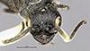 http://mczbase.mcz.harvard.edu/specimen_images/entomology/large/MCZ-ENT00030795_Pristocera_quiroga_hef.jpg