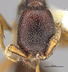 http://mczbase.mcz.harvard.edu/specimen_images/entomology/large/MCZ-ENT00030797_Apenesia_leucophthalma_hef.jpg
