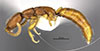 http://mczbase.mcz.harvard.edu/specimen_images/entomology/large/MCZ-ENT00030798_Dissomphalus_luscus_hal.jpg
