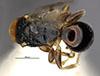 http://mczbase.mcz.harvard.edu/specimen_images/entomology/large/MCZ-ENT00030802_Epyris_hispaniolae_had.jpg