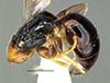 http://mczbase.mcz.harvard.edu/specimen_images/entomology/large/MCZ-ENT00030802_Epyris_hispaniolae_hal.jpg