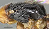 http://mczbase.mcz.harvard.edu/specimen_images/entomology/large/MCZ-ENT00030802_Epyris_hispaniolae_thl.jpg