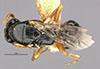 http://mczbase.mcz.harvard.edu/specimen_images/entomology/large/MCZ-ENT00030803_Epyris_manni_had.jpg