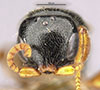http://mczbase.mcz.harvard.edu/specimen_images/entomology/large/MCZ-ENT00030803_Epyris_manni_hef.jpg