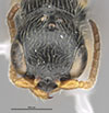 http://mczbase.mcz.harvard.edu/specimen_images/entomology/large/MCZ-ENT00030804_Bakeriella_azteca_hef.jpg