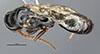 http://mczbase.mcz.harvard.edu/specimen_images/entomology/large/MCZ-ENT00030805_Bakeriella_polita_had.jpg