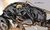 http://mczbase.mcz.harvard.edu/specimen_images/entomology/large/MCZ-ENT00030805_Bakeriella_polita_thl.jpg