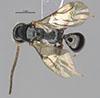 http://mczbase.mcz.harvard.edu/specimen_images/entomology/large/MCZ-ENT00030806_Bakeriella_rufocaudata_had.jpg