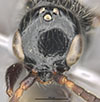 http://mczbase.mcz.harvard.edu/specimen_images/entomology/large/MCZ-ENT00030806_Bakeriella_rufocaudata_hef.jpg