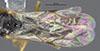 http://mczbase.mcz.harvard.edu/specimen_images/entomology/large/MCZ-ENT00030807_Bakeriella_floridana_fwg.jpg