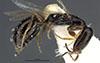 http://mczbase.mcz.harvard.edu/specimen_images/entomology/large/MCZ-ENT00030808_Plastanoxus_incompletus_hal.jpg
